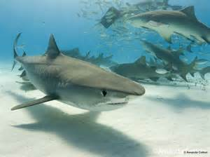 pics of tiger sharks h picture 6