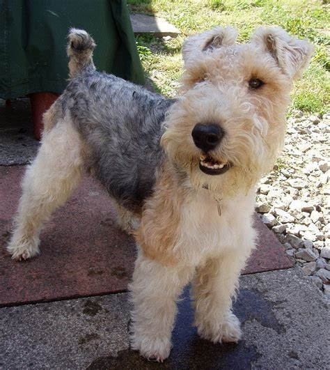 wire hair fox terrier picture 6