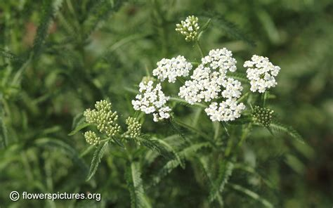 yarrow flower picture 14