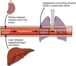 does liver effect the blood pressure picture 9