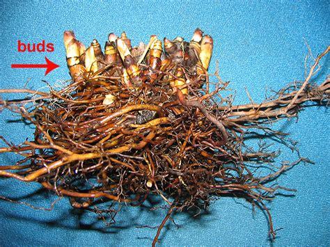 black cohosh root picture 9