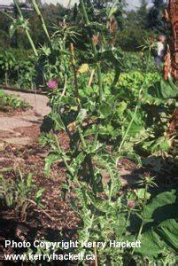 damo maria herbal plants picture 11