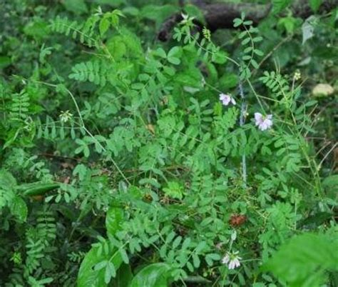 sister zues black cohosh dosage picture 13
