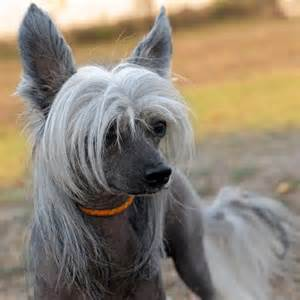 chinese crested h picture 7