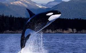 killer whale h picture 2