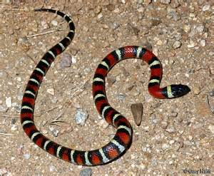 mexican rattlesnake pills bad for you picture 17
