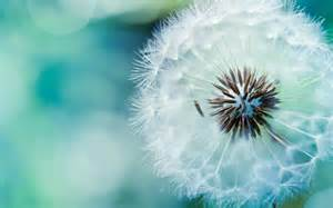 dandelion flower pictures picture 5