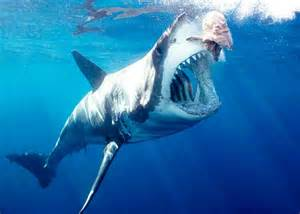 great white sharks teeth picture 3