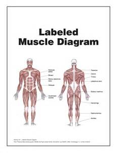 muscle chart picture 13