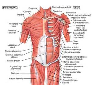 muscle that covers the chest and abdominal picture 5