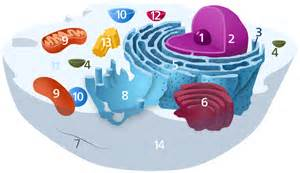 how do lysomes factor into health picture 7