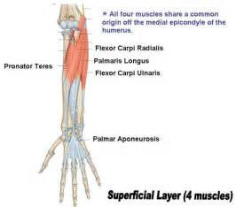 how to say the superficial muscles of the picture 2