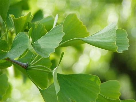 is ginko biloba a probiotic picture 11