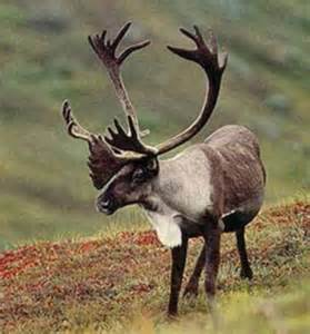 caribou skin picture 6