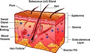 glandular allure of the skin picture 3