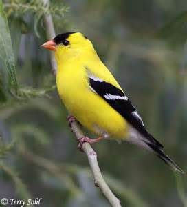 gold finch diet picture 5