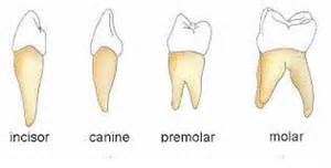 functions of our various teeth picture 9