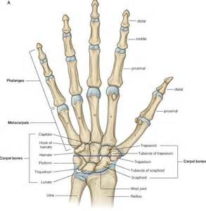 medal carpal joint picture 18