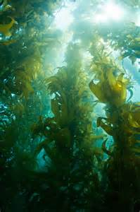 pacific kelp picture 7