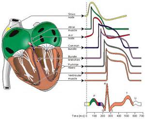 electrocardiograms directly measure action potentials in individual picture 9