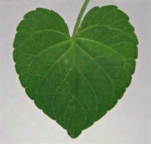 heart leaved plantain picture 15