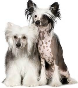 chinese crested h picture 6