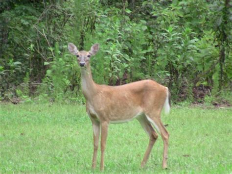 will deer antler increase size of s picture 4