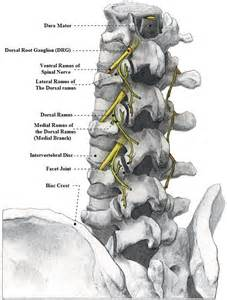 strengthen spinal facet joints picture 2