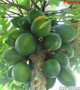 buy papaya plant picture 1