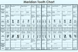chart of your teeth picture 15