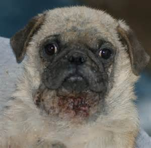 pugs and skin problems picture 1