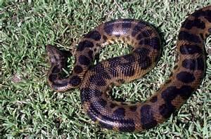 anaconda diet picture 2