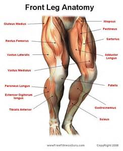 leg muscle illustration picture 9