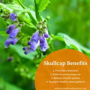 scullcap herb picture 5