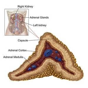 adrenal gland picture 7