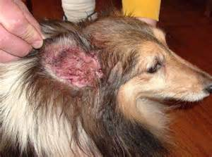 cause of skin mites in dogs picture 9