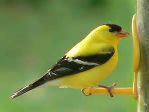 gold finch diet picture 6