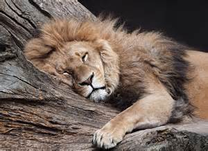 lion sleeping picture 2