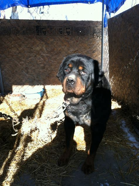 aging care for rottweilers picture 7