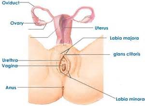 diagram of penis inside of virginal picture 5