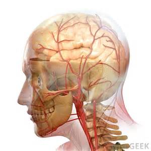 blood flow areas, human brain picture 15
