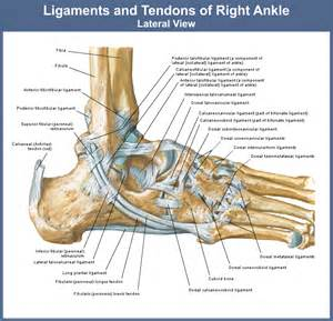 ligaments picture 2