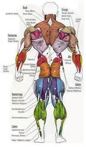 muscle groups picture 13