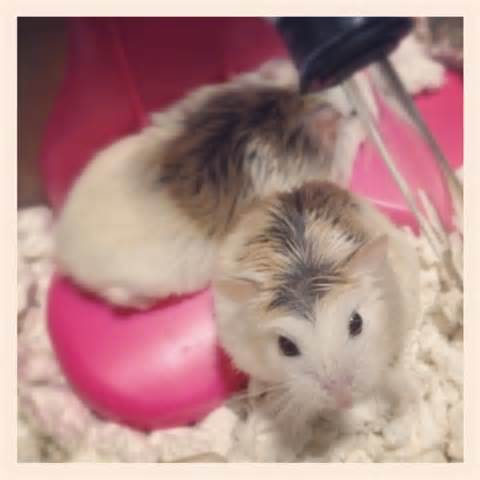 x hamster mobile sleeping picture 1
