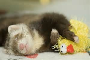 pictures of ferrets sleeping picture 5