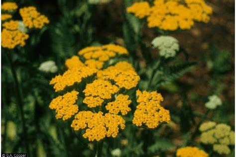 achillea filipendulina herbal use picture 11