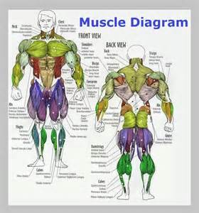 muscle chart picture 9
