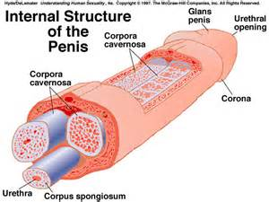 photo of penis picture 6