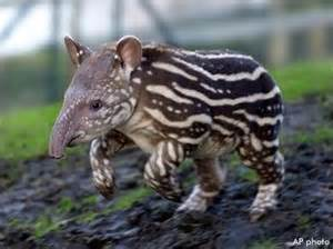 fully erected penis of tapir pictures picture 15