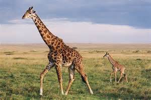 average length of a giraffe penis picture 6